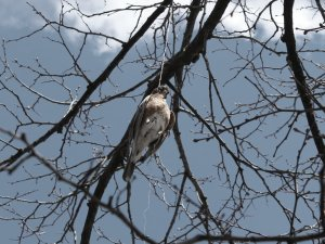 dead_bird_hanging_in_tree__5_by_thomasngan-d7he6z8